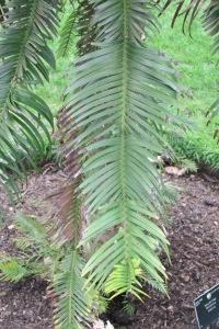 Wollemia nobilis Q 3