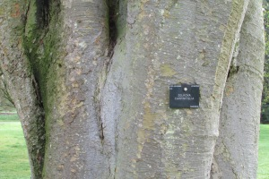 Zelkova carpinifolia Q 1