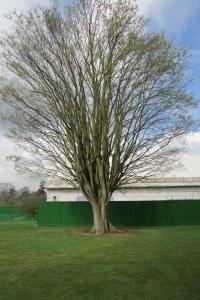Zelkova carpinifolia Q 2