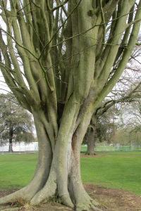 Zelkova carpinifolia Q 4