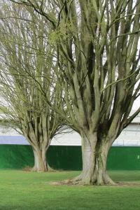 Zelkova carpinifolia Q 5